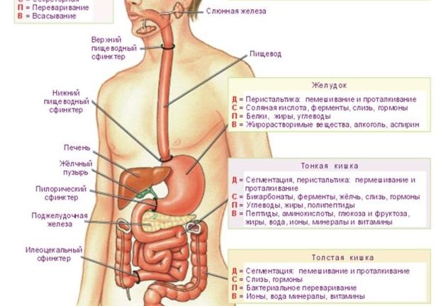 где находится желудок - Расположение и функции желудка