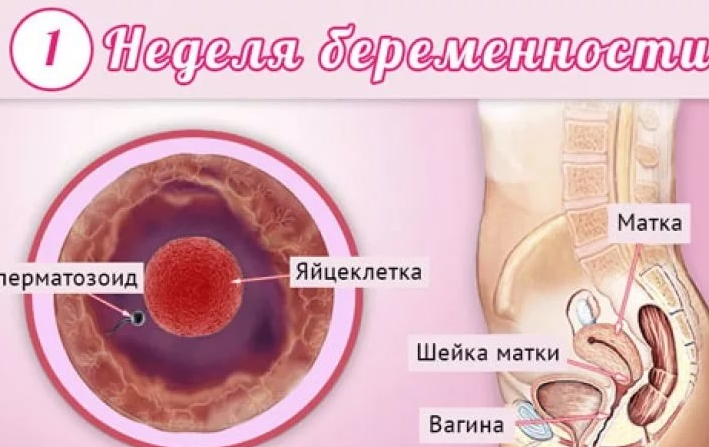 Может ли тошнить на первой недели беременности